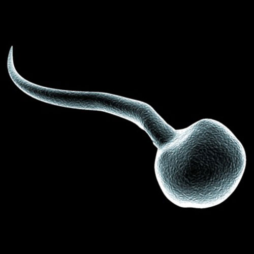 u-spermatozoida-slabiy-hvost