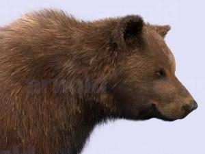 Bear-maya