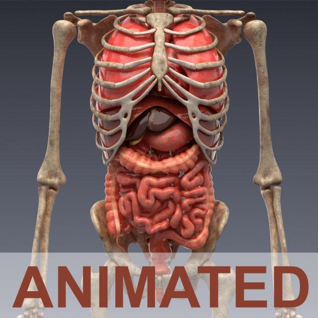 Human intercourse anatomy