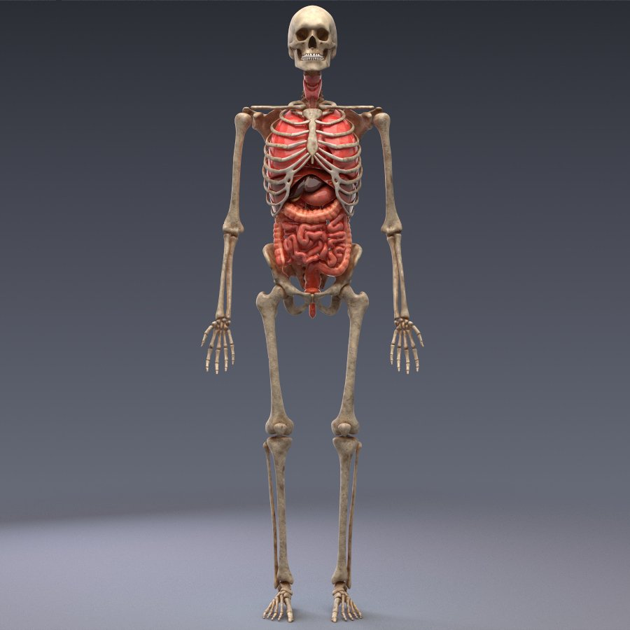 Human Anatomy Animated Skeleton Internal Organs 3d Model In Anatomy