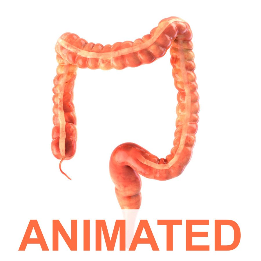 Human colon Animated Modelo 3D in Anatomía 3DExport