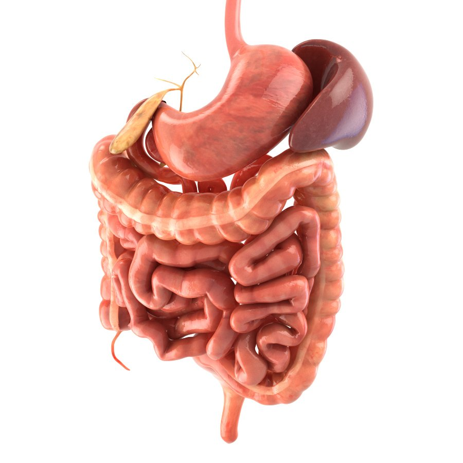 Digestive system Animated 3D Model in Anatomy 3DExport