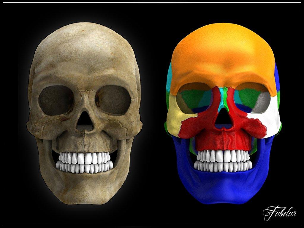 Human skull Vray 3D Model in Anatomy 3DExport