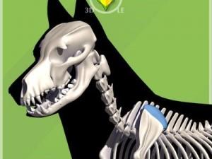 German Shepherd skeleton