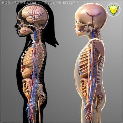 Human Child Anatomy Collection 5 Years Old 3d Model In Anatomy 3dexport
