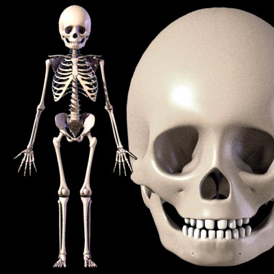 5 year old child skeleton 3d model in anatomy3dexport, Skeleton
