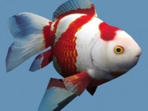 Goldfish 02