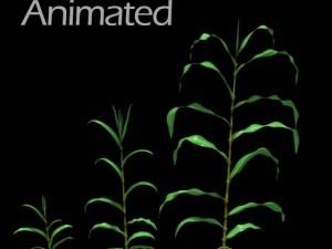Corn Plant Growth