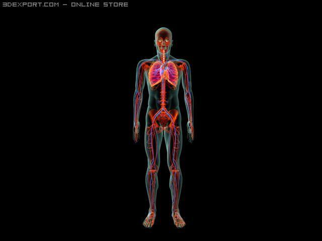 Human System 3d Model In Anatomy 3dexport