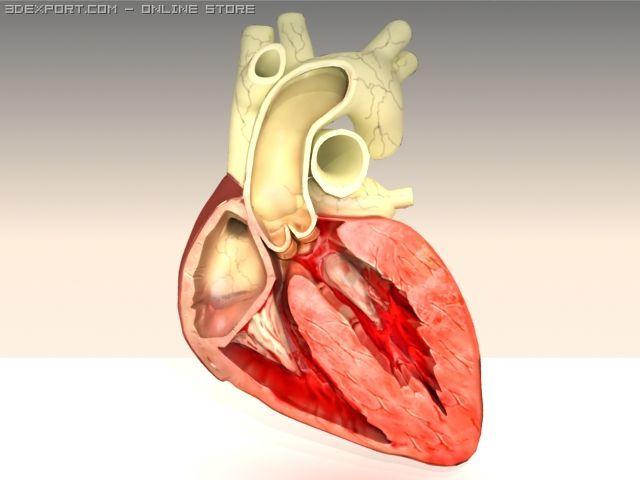 Heart cross section 3D Model in Anatomy 3DExport