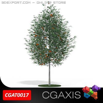 Rowan Tree Mountain Ash CGAXIS 17 3D Model