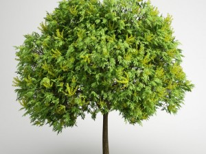 CGAxis Goldenrain Tree 08