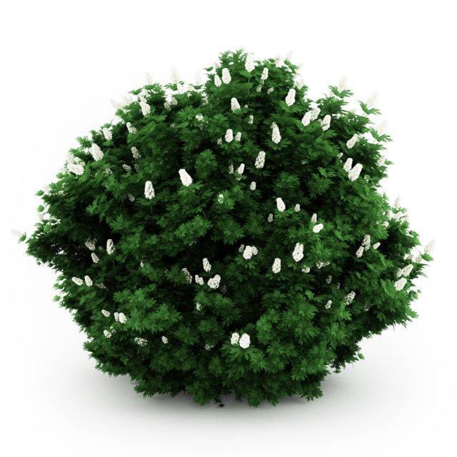 CGAxis Oakleaf hydrangea 3D Model