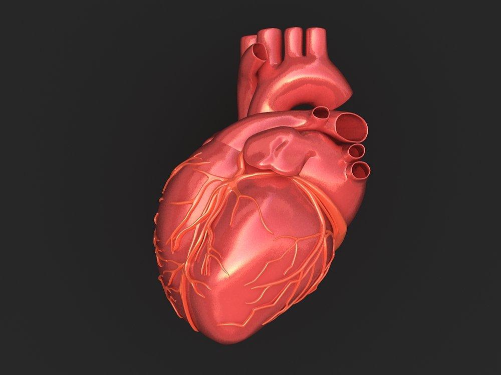 Human Heart 3d Model In Anatomy 3dexport