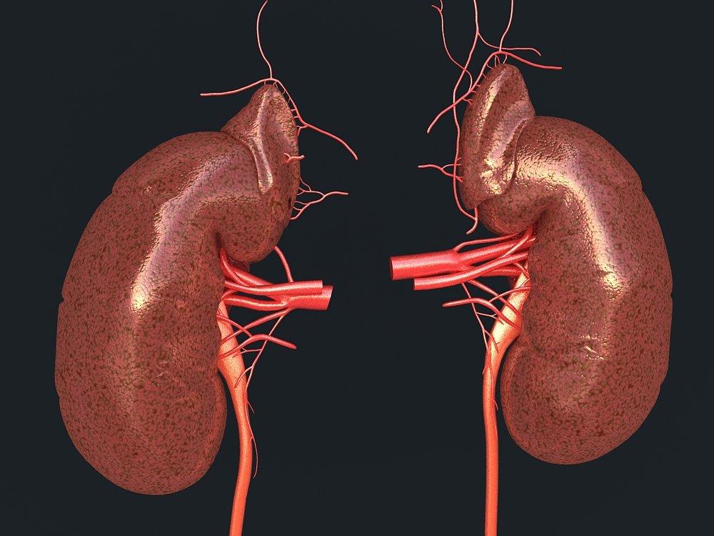 Human Kidney 3d Model In Anatomy 3dexport