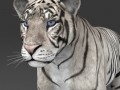 Realistic White Tiger