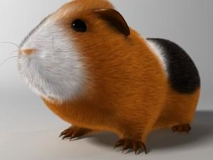 Guinea pig Cavia porcellus Rigged