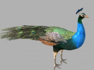 Peacock 3d Models Download 3d Peacock Available Formats C4d Max