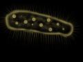 Zelleriella