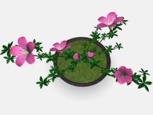 Japan azalea pot