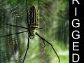 Giant Golden Silk Spider