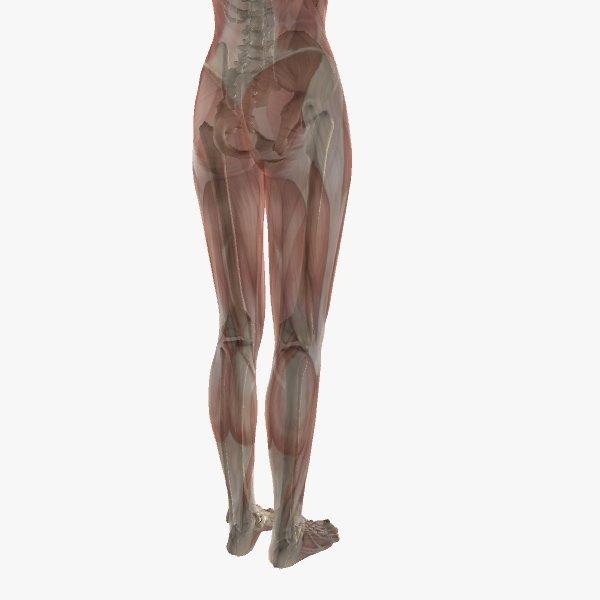 Female Anatomy 3d In 3dexport