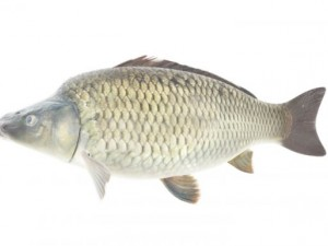 High Detailed and Animated CARP Fish