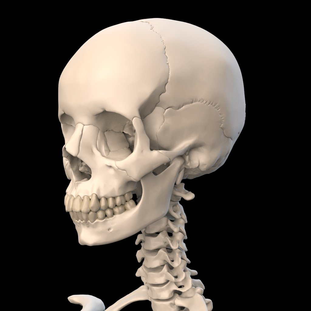 Anatomically Accurate Human Skull 3D Model in Anatomy 3DExport