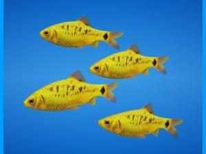 Golden Barb Fish