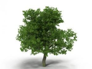 Broadleaf maple green