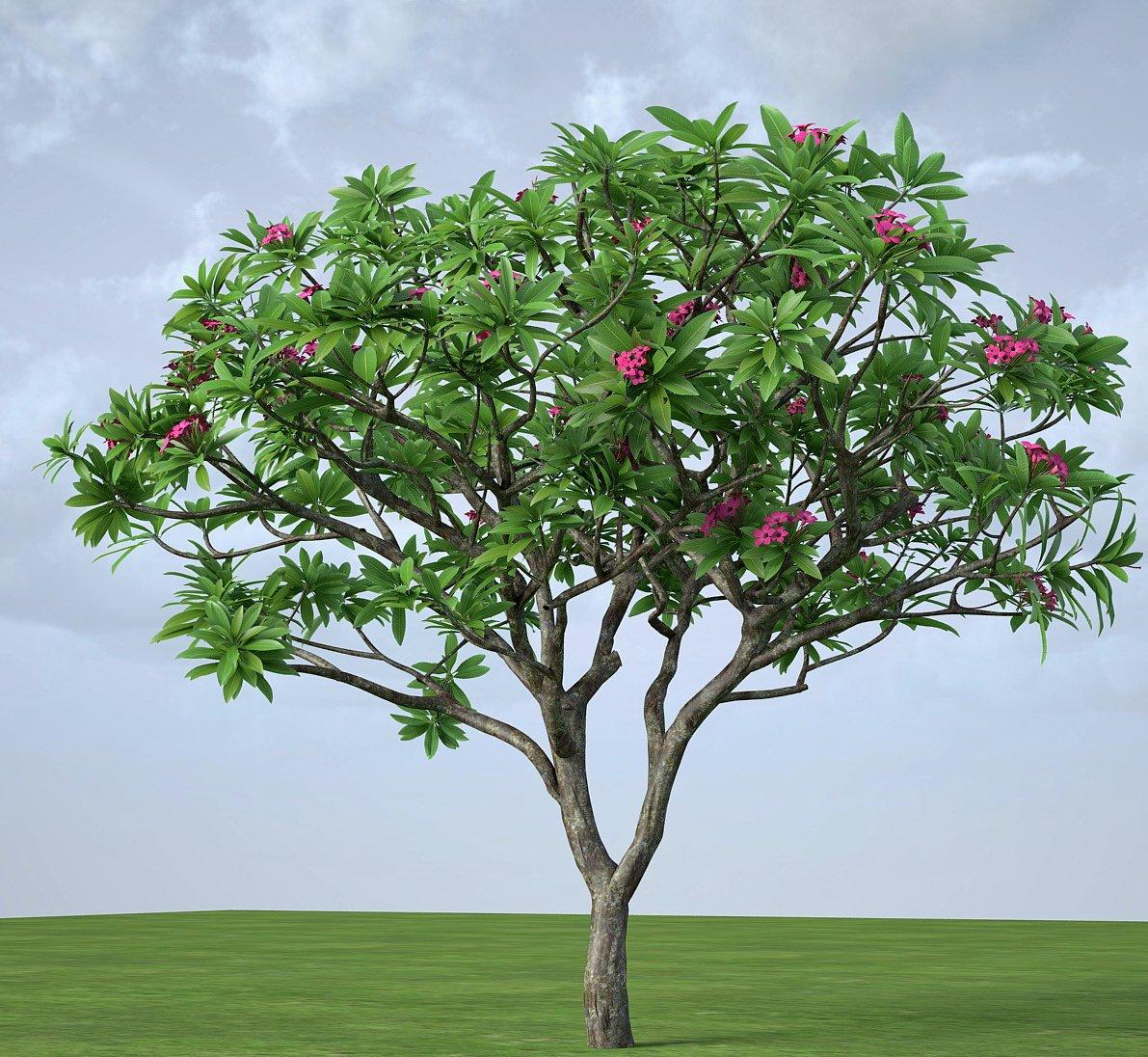 Plumeria frangipani rubra 3D Model in Tree 3DExport