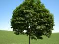 Acer platanoides 201SU
