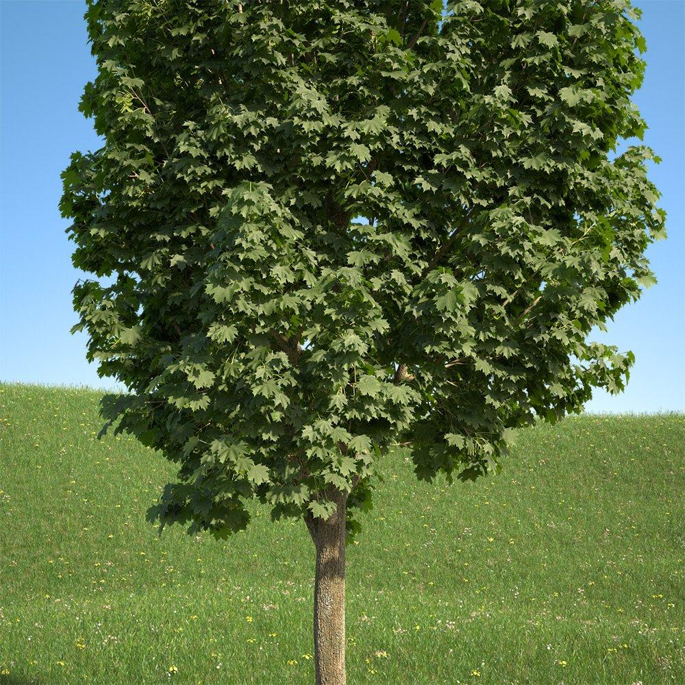 Acer Platanoides Columnare 201su 3d Model In Tree 3dexport