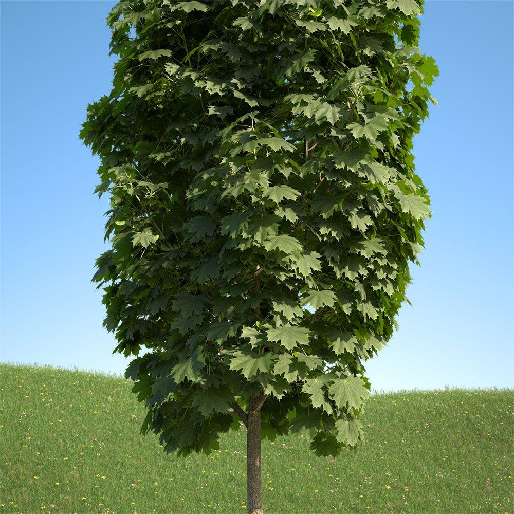 Acer Platanoides Columnare 102su 3d Model In Tree 3dexport