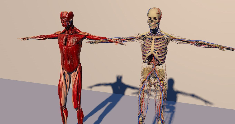 Human anatomy 3D Model in Anatomy 3DExport