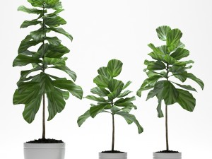 Fig plants