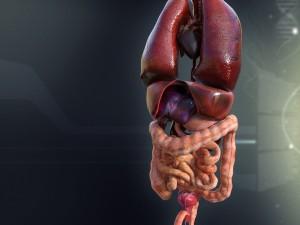 Human Male Internal Organs