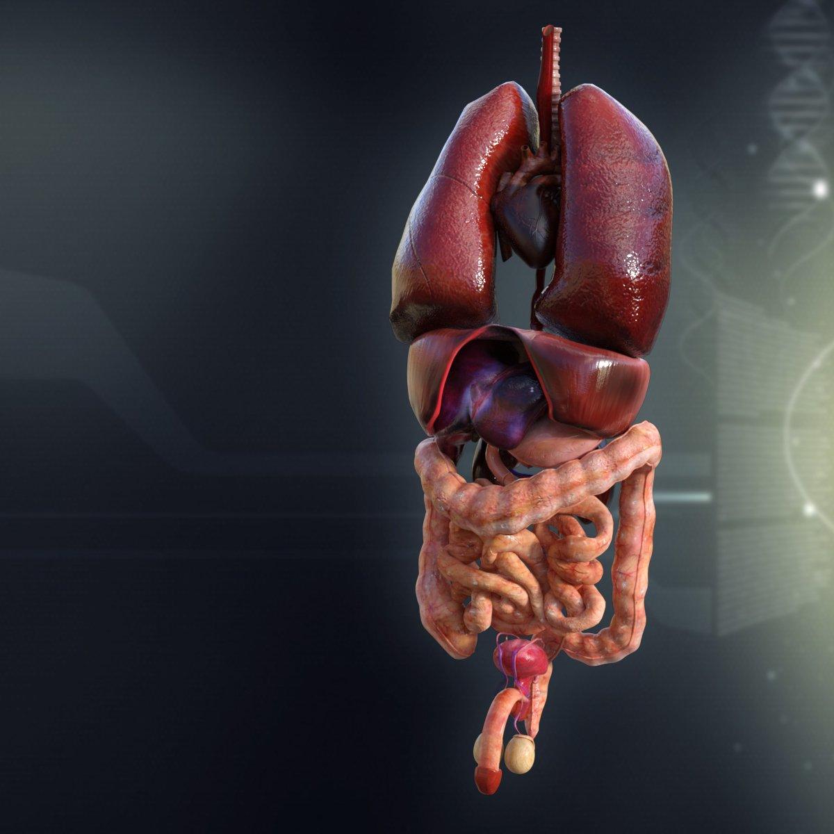 Human Male Internal Organs 3D Model in Anatomy 3DExport