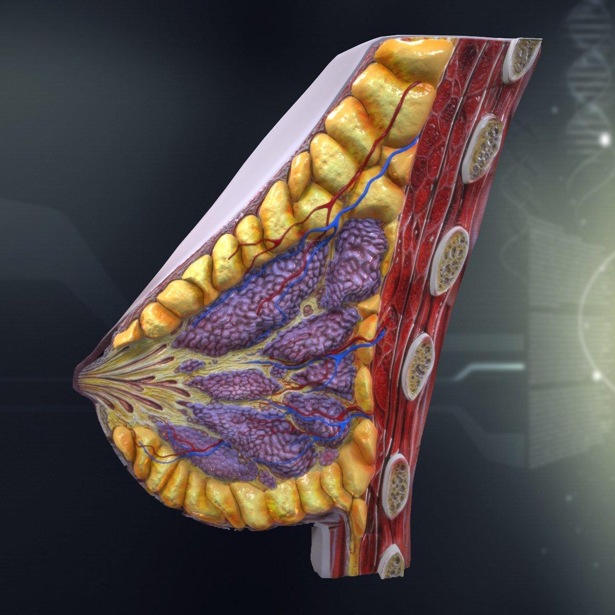 Human Female Breast Anatomy 3D Model in Anatomy 3DExport