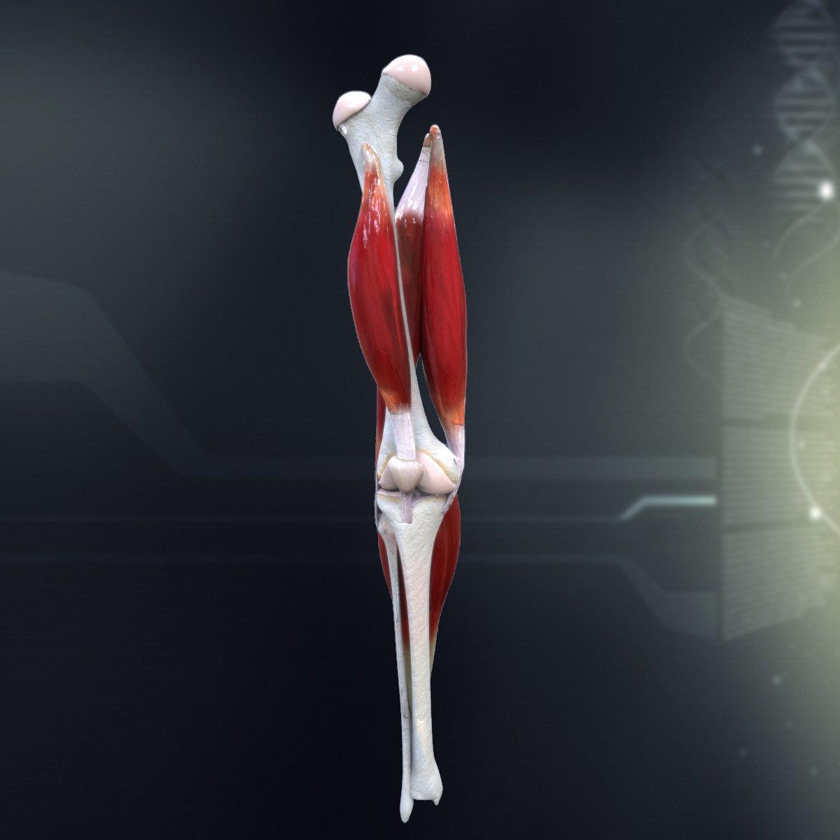 Human Knee Joint Antomy 3D Model in Anatomy 3DExport