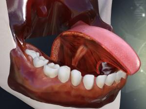 Human Teeth Gums and Tongue Anatomy