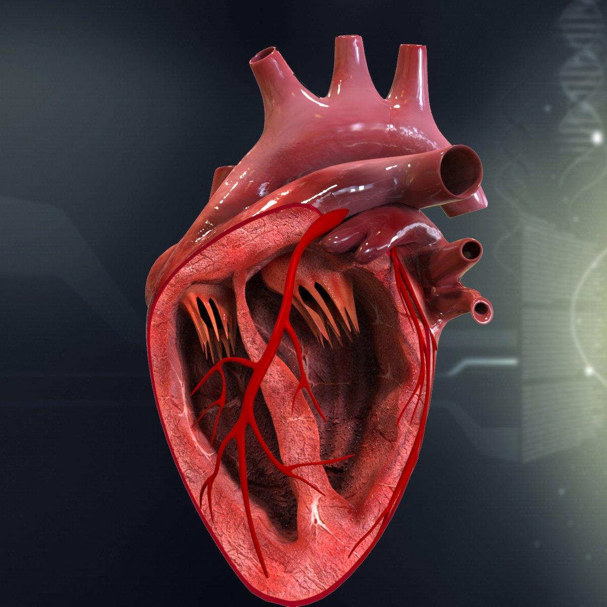 Human Heart Cutaway Anatomy 3d In 3dexport