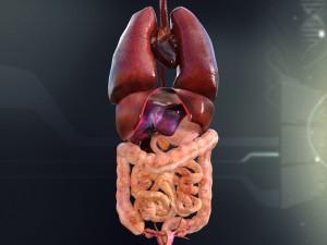 Human Female Internal Organs Anatomy