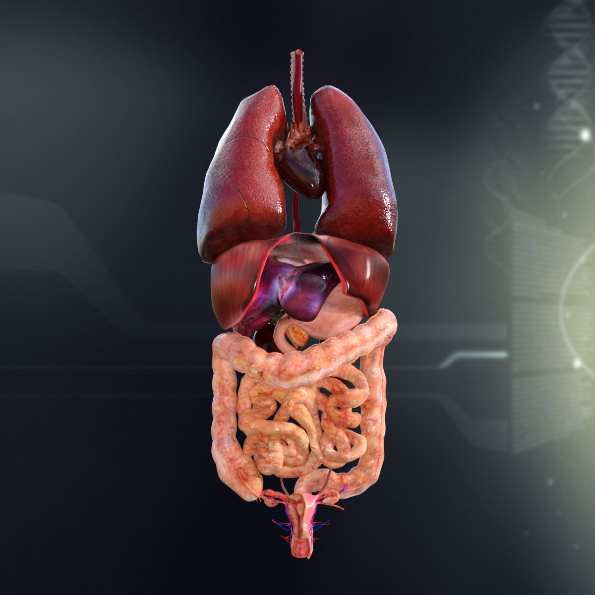 Human Female Internal Organs Anatomy 3D Model in Anatomy 3DExport