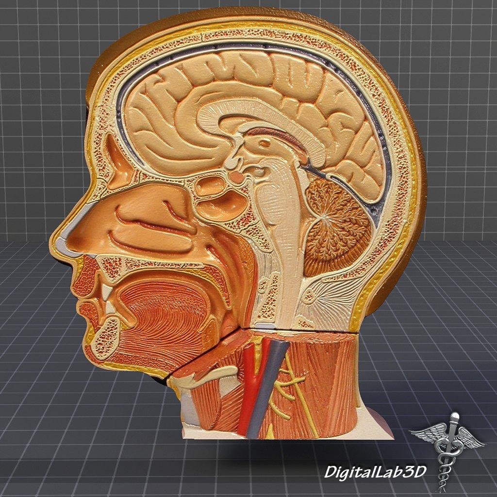 Human Head Anatomy Modelo 3D in Anatomía 3DExport