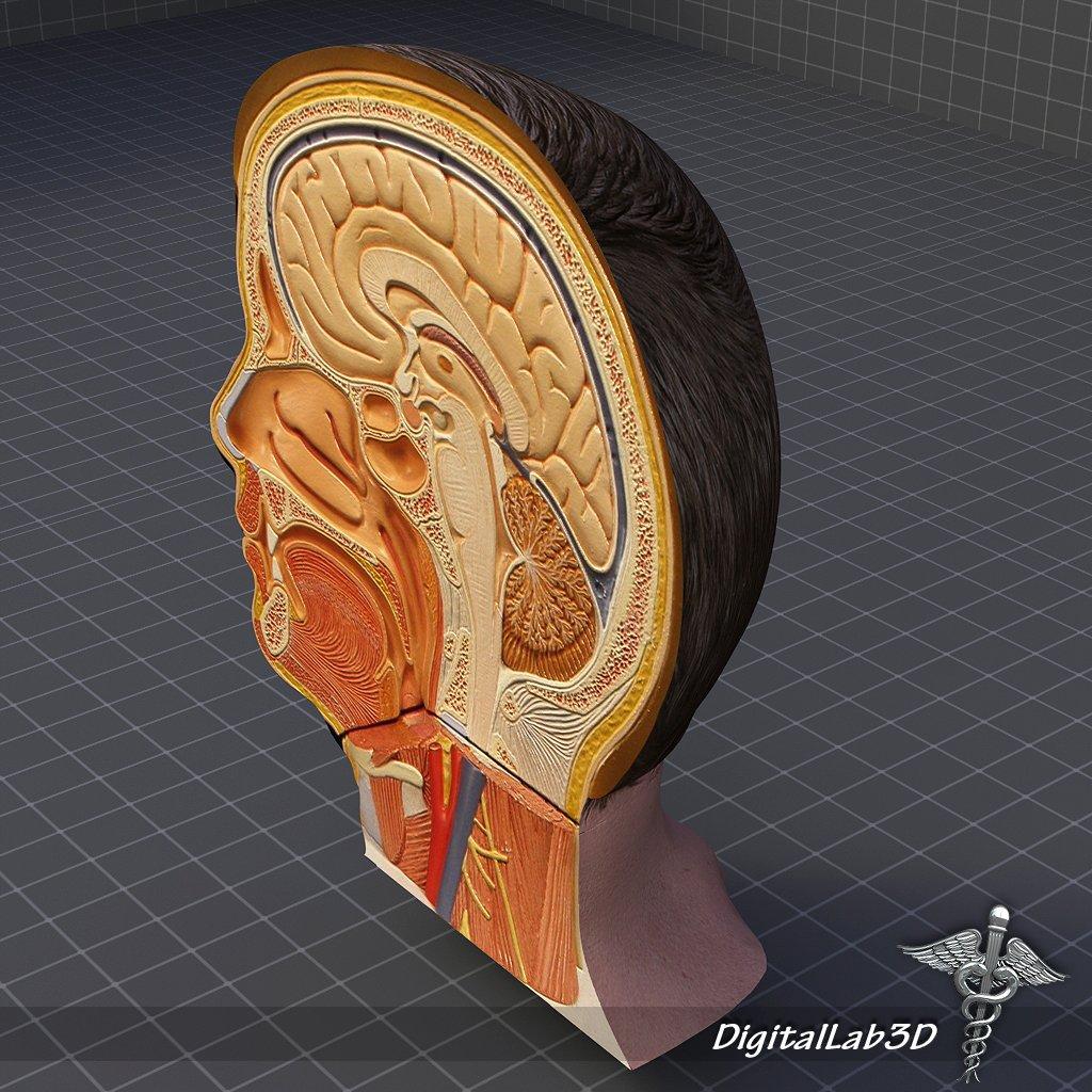 Human Head Anatomy 3d Model In Anatomy 3dexport