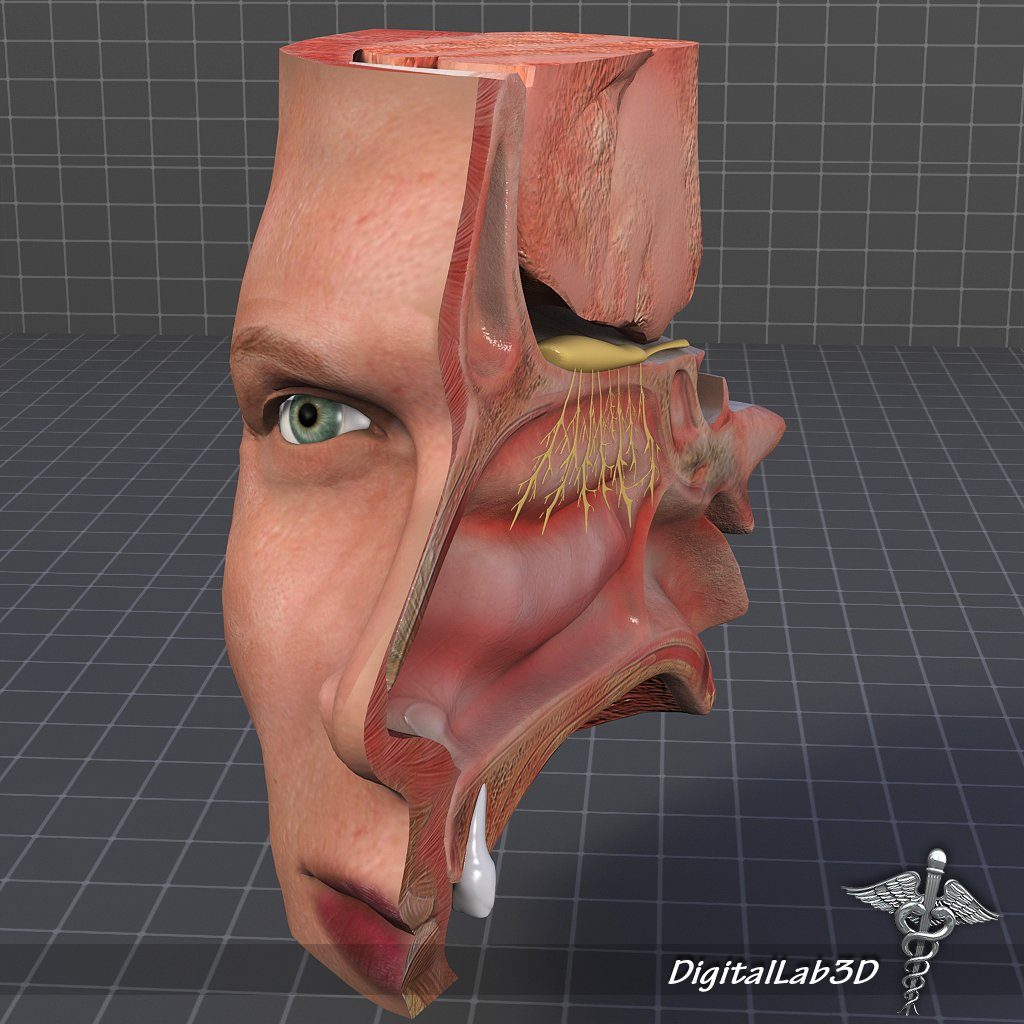 Nose Anatomy 3D Model in Anatomy 3DExport