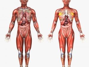 Human Male and Female Anatomy