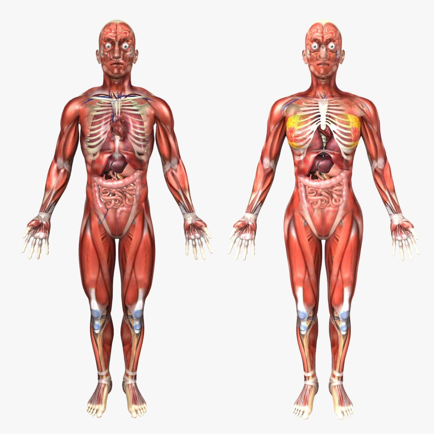 Human Male and Female Anatomy 3D Model in Anatomy 3DExport