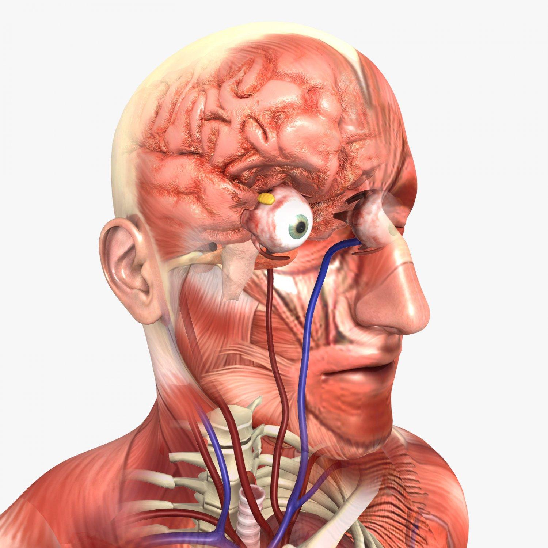 Human Male Anatomy 3d Model In Anatomy 3dexport